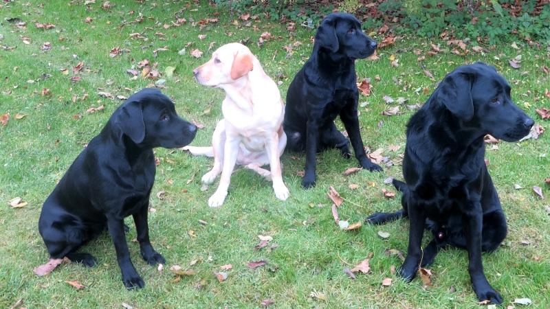 Fyra labradorer, tre svarta och en gul, sitter på en gräsmatta.