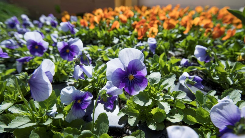 Blommor i blått och orange. Foto: Lennat Johansson.