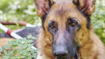 En schäferhund i närbild med ledarhundssele