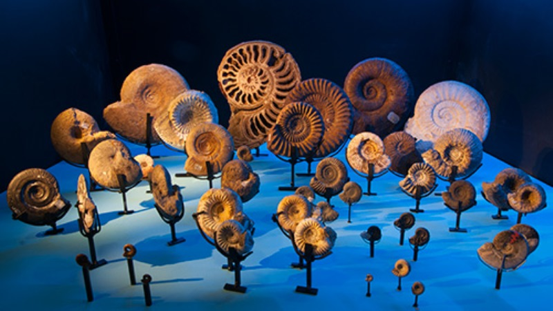 Fosil av  ammoniter, ett slags bläckfisk. Deras skal varierade mycket i form.